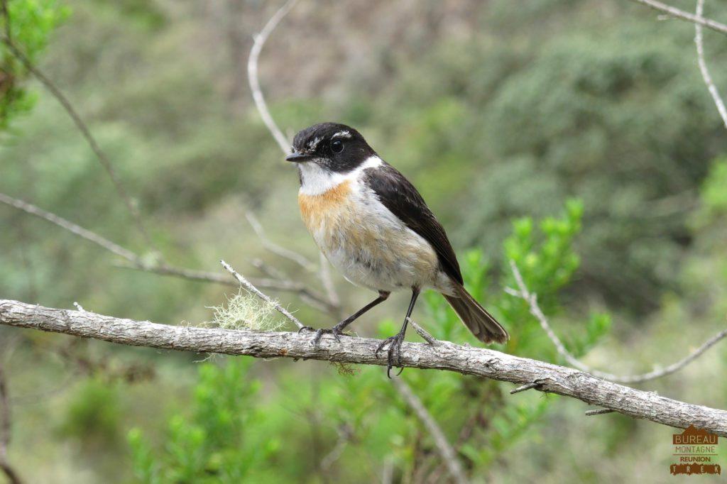 Le tek-tek l'oiseau des randonneurs mafate réunion trek