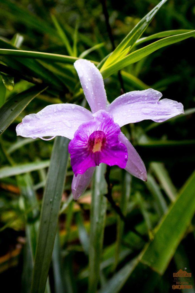 randonnée réunion trek agence GRR2 diagonale traversée volcan fournaise orchidée fleur