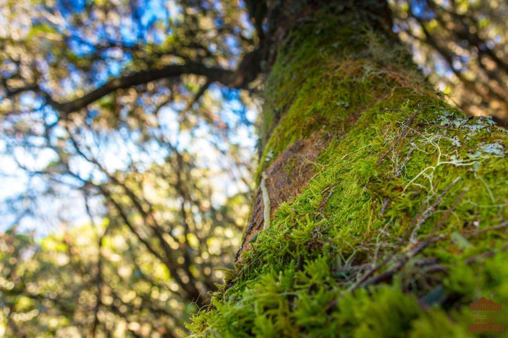 Forêt lichen mousse dans le cirque de Cilaos réunion trek rando guide