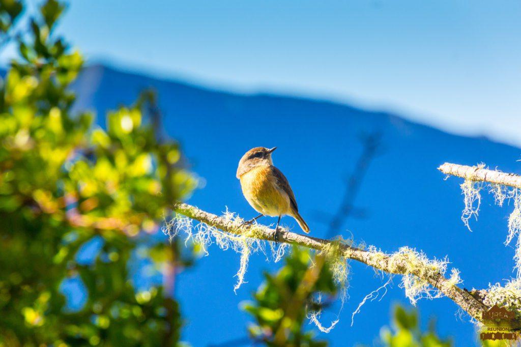 Le tek-tek, l'oiseau des randonneurs Saxicola tectes rando réunion nature