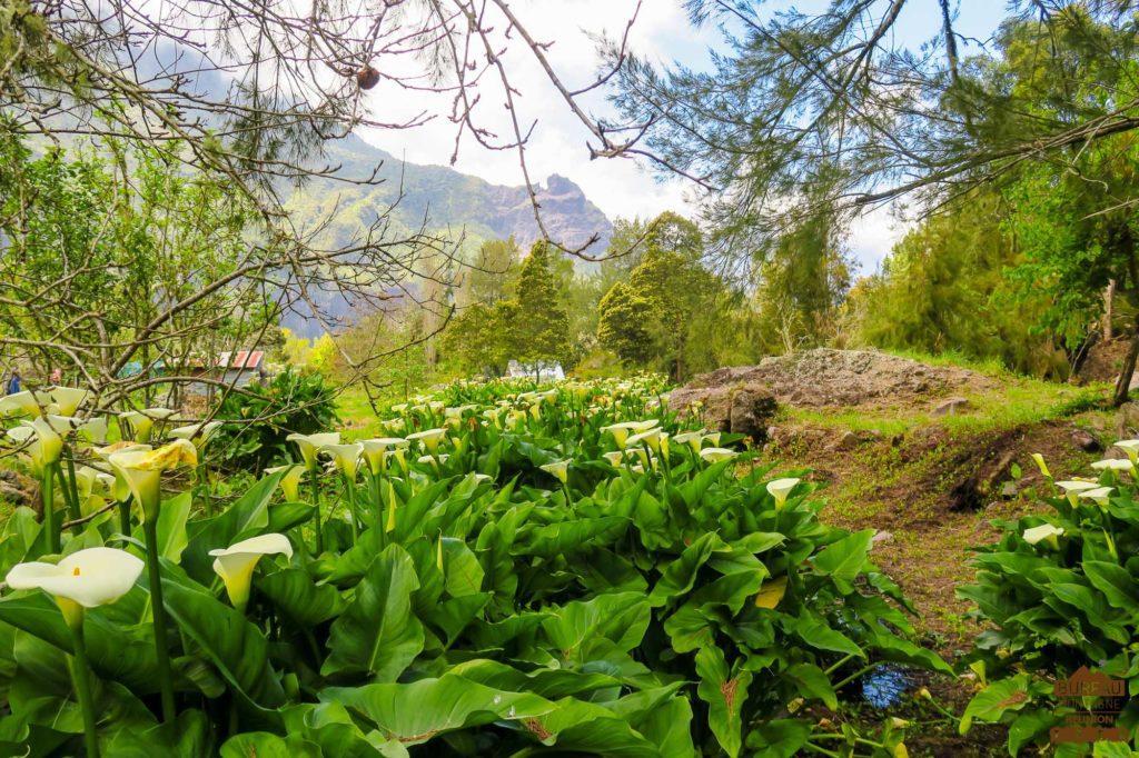 Arums en fleurs, ilet des Salazes réunion trek guide 974