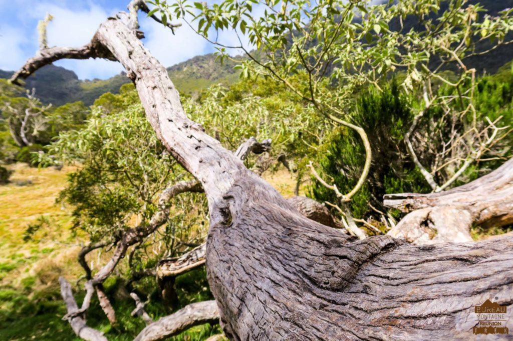 la plaine des Tamarins, Mafate acacia heterophylia réunion trek rando