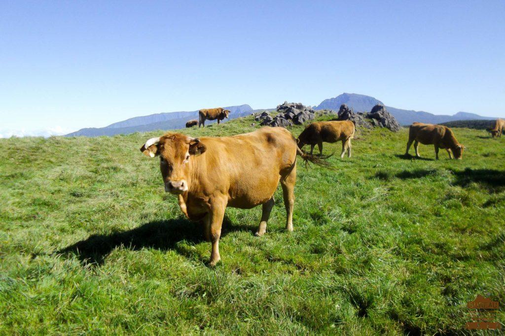 Pâturages de la Plaine des Cafres vache piton des neiges trek guide réunion rando