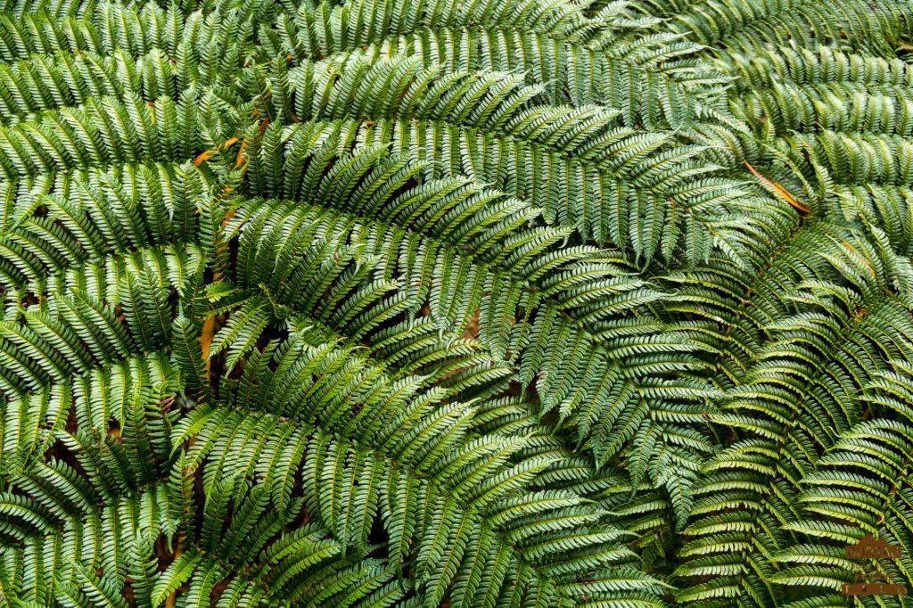 En forêt de Bébour bélouve fougère réunion 974 trek guide rando