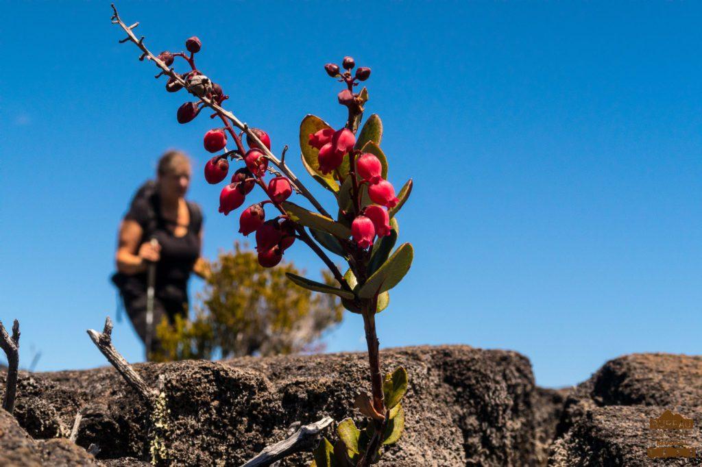 Petit bois de rempart, Piton de La Fournaise randonneur fleur Agariste à feuilles de buis Agarista buxifolia